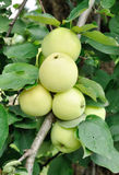 Green apples grow on a branch Royalty Free Stock Photos