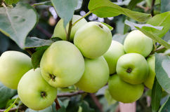 Green apples grow in the garden on a branch Royalty Free Stock Photo