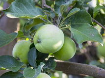 Green apples. Growing on an apple tree Stock Photography