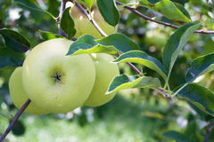 Green Apples growing on an Apple Tree stock image