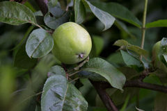 Green apples growing stock images