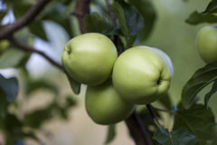 Green apples growing on the tree Royalty Free Stock Photography