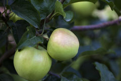 Green apples growing on the tree Stock Images