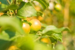 Green apples growing on the tree summer fruit stock image