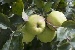 Green apples are grown in Kalpa in Himachal Pradesh. Green apples are mostly grown in Kalpa whose capital is Rekong Peo is in Himachal Pradesh stock images