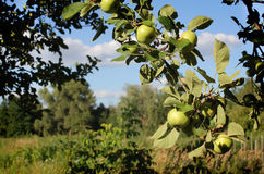 Green apples. Hanging on a branch in the garden Royalty Free Stock Images
