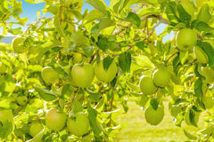 Green apples hanging on the tree Stock Image
