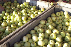 Green Apples Harvest. Wooden crates filled with apples during apple harvest season stock image
