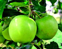 Green apples (Hungary). Beautiful green apples in a young tree Stock Photo