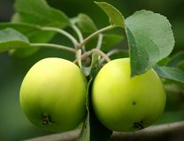 Green apples with leaves. Green apples with green leaves on a branch Royalty Free Stock Images