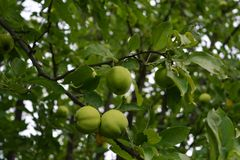Green apples and leaves grow on apple tree. Summer garden.  royalty free stock image