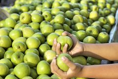 Green apples in the market Stock Image