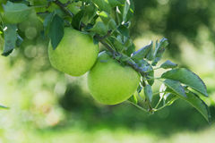 Green Apples On The Tree Royalty Free Stock Photo