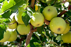 Green Apples in the Orchard Stock Images