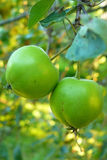 Green apples. A pair of green young apples on a branch among the leaves Royalty Free Stock Image