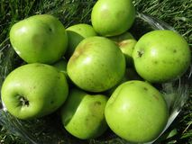 Green Apples Picked for the Pie royalty free stock photo