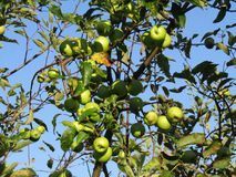 Green Apples Ready for Picking in July royalty free stock photography