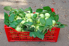 Green apples in a red box on the ground Stock Photo