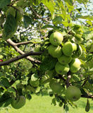 Green apples ripen on a branch Stock Image