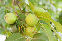 Green apples ripen on the branch of tree Stock Image