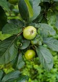 Green apples ripen on the branches of an apple tree.  stock photos