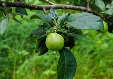 Green apples ripen on the branches of an apple tree.  royalty free stock photo