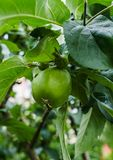 Green apples ripen on the branches of an apple tree.  royalty free stock photography