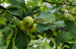 Green apples ripen on the branches of an apple tree.  stock image