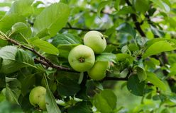 Green apples ripen on the branches of an apple tree.  royalty free stock photos