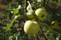 Green apples 'Semerenko' on a tree branch.  Stock Image