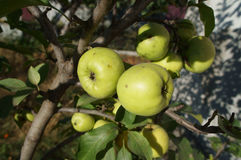 Green apples 'Semerenko' on a tree branch Royalty Free Stock Photography