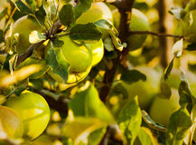 Green apples in summer season Stock Images
