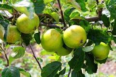 Green apples in a tree. In a garden Stock Photos