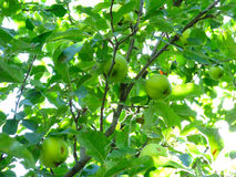 Green apples on a tree Royalty Free Stock Photography