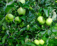 Green apples on the tree Royalty Free Stock Image