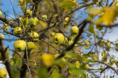 Green apples in a tree. With a blue sky as background royalty free stock photo