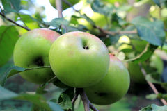 Green apples on tree branch Royalty Free Stock Photography