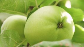 Green apples on the tree. close-up. Apples on the tree. beautiful apples ripen on a branch in the rays of the sun. Green apples on the tree. close-up. Apples on stock footage