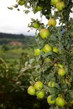 Green Apples on Tree Royalty Free Stock Photography