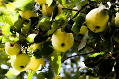 Green apples on tree. Green apples hanging in a tree with the sun shining on them Stock Images