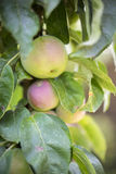 Green apples on a tree. Between leaves close up Royalty Free Stock Image