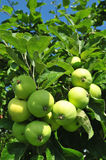 Green apples on the tree Royalty Free Stock Images