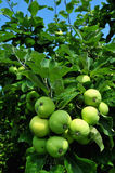Green apples on the tree. Many green apples on the tree Stock Images