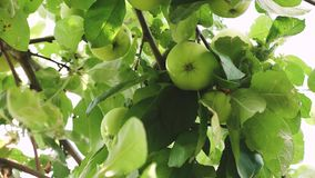 Green apples on the tree. organic fruit. beautiful apples ripen on a branch in the rays of the sun. agricultural. Business. Apples on tree stock video