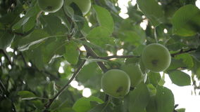 Green Apples on tree in summer garden, over the sun stock video footage