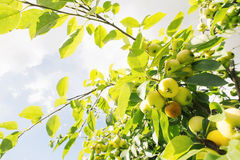 Green apples on a tree Royalty Free Stock Images