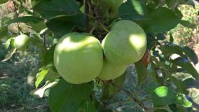 Green apples in the tree in summer. There are some green apples in a tree Royalty Free Stock Image