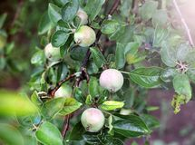 Green apples on the tree. Unripe apples royalty free stock photos