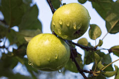 Green apples with water droplets on apple tree. The apple tree (Malus domestica) is a deciduous tree in the rose family best known for its sweet, pomaceous fruit royalty free stock photo
