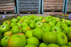 Green apples in wooden boxes Stock Photography
